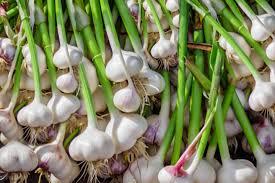 garlic types