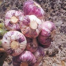 germidour garlic